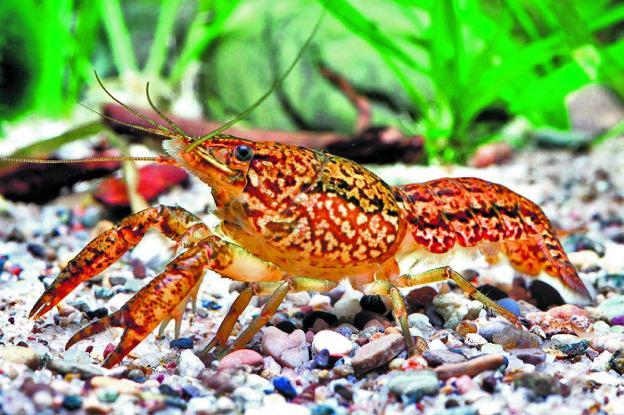 El cangrejo mutante hoy for Acuarios ornamentales
