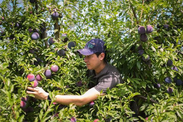 El sector de la fruta de hueso alerta de la falta de temporeros por el cierre de fronteras