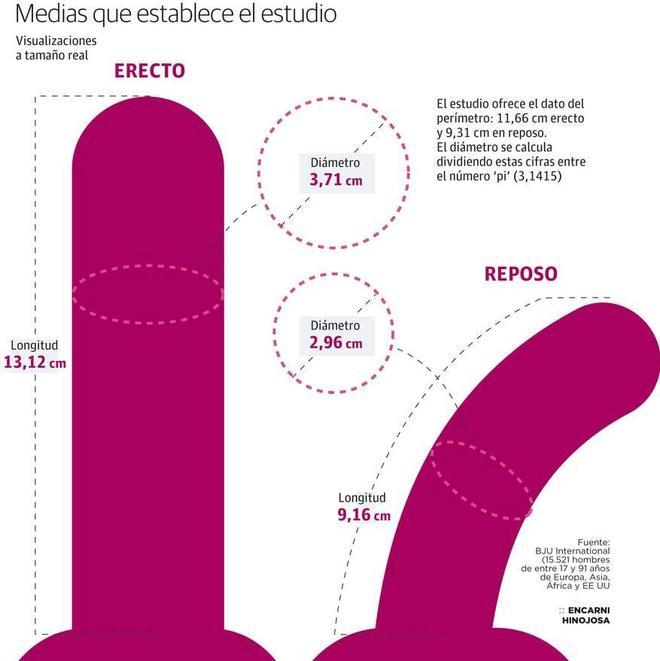 pene en erección 16 cm normal